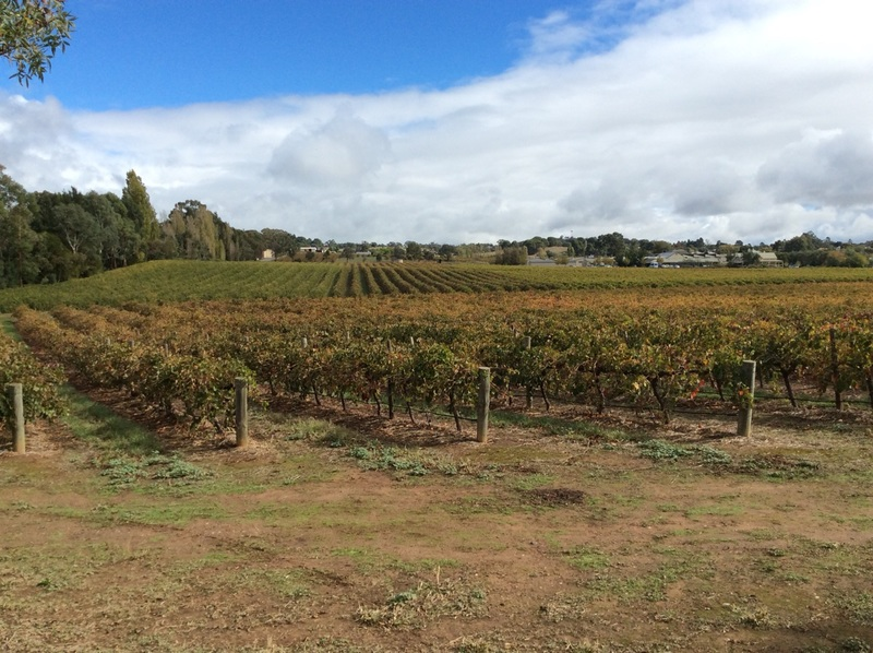 yalumba's vineyards in angaston