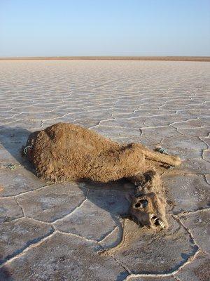 Dead_Camel.jpg