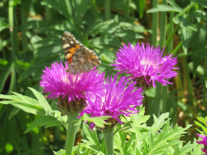 IMG_1122 centaurea with butterfly
