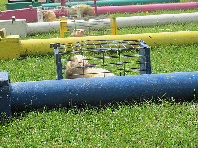 At the ferret race