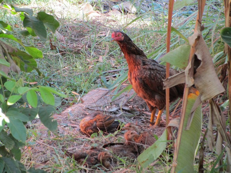 Kurata school chickens