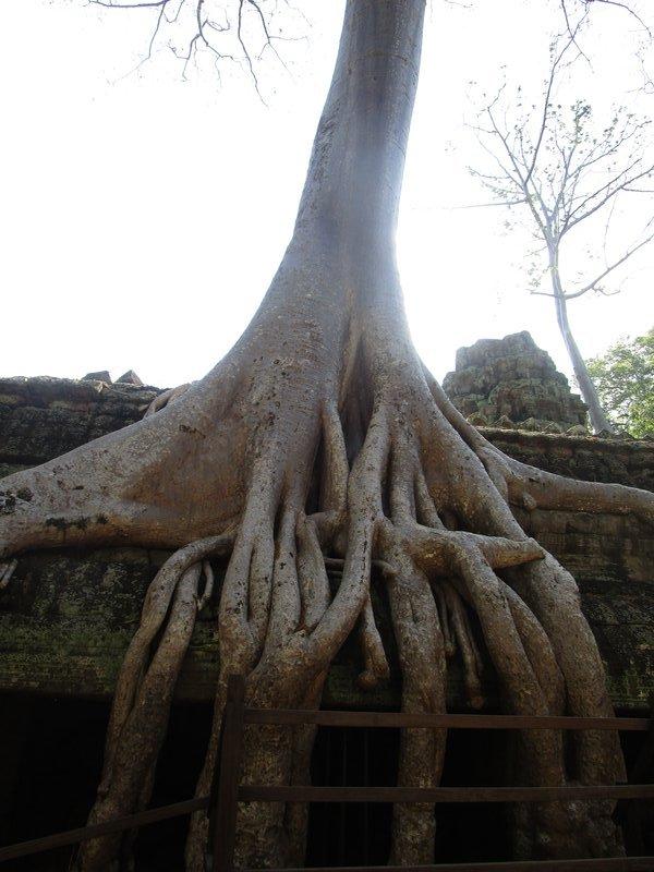 Ta Prahm tree roots