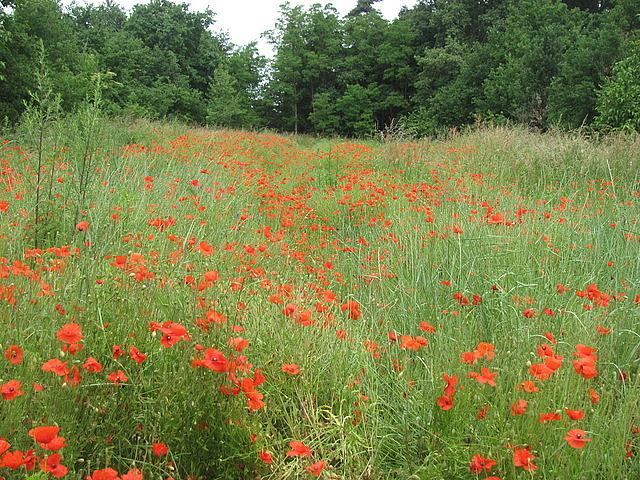 Random poppy field