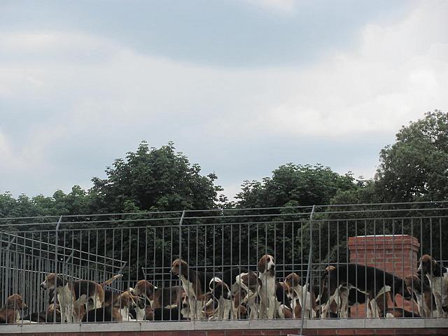 The hounds awaiting the dinner bell