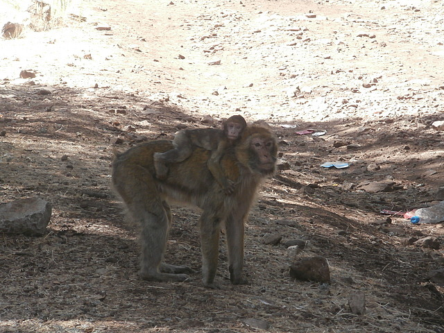 Barbary  apes on the side of the road