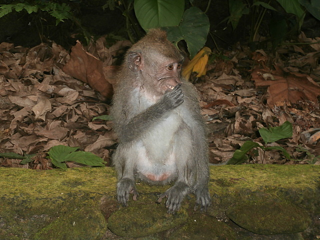 Resident at Monkey Forest