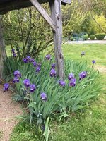 The iris in early flower