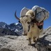 Meeting a yak on the trail