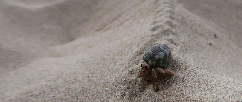 A hermit crab at Charlie Beach, Koh Mook, Thailand.