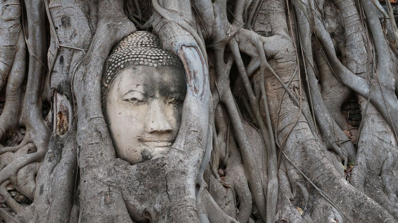 The head of the Buddha overgrown by trees at Ayutthaya Historical Park, Thailand.