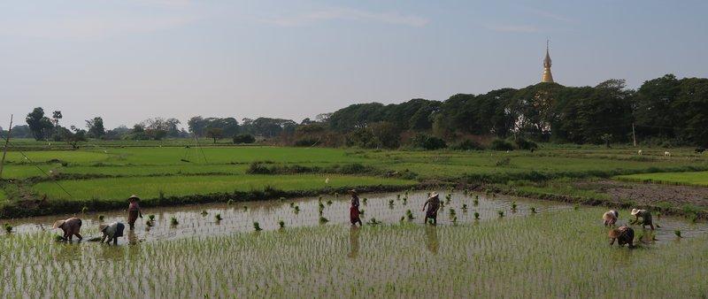 Peasants planting rice in Mandalay, Myanmar.