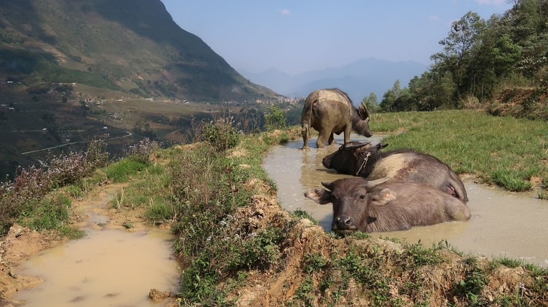 Water buffaloes chilling in Sa Pa, Vietnam.