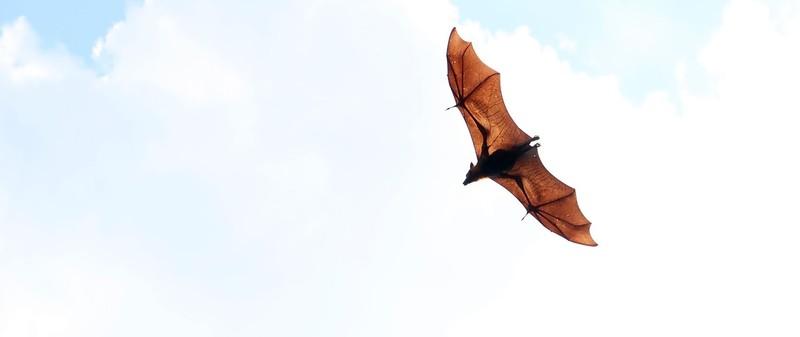 Fruit bats in Battambang, Cambodia.