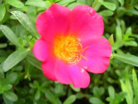 Marshalleese flower 05
