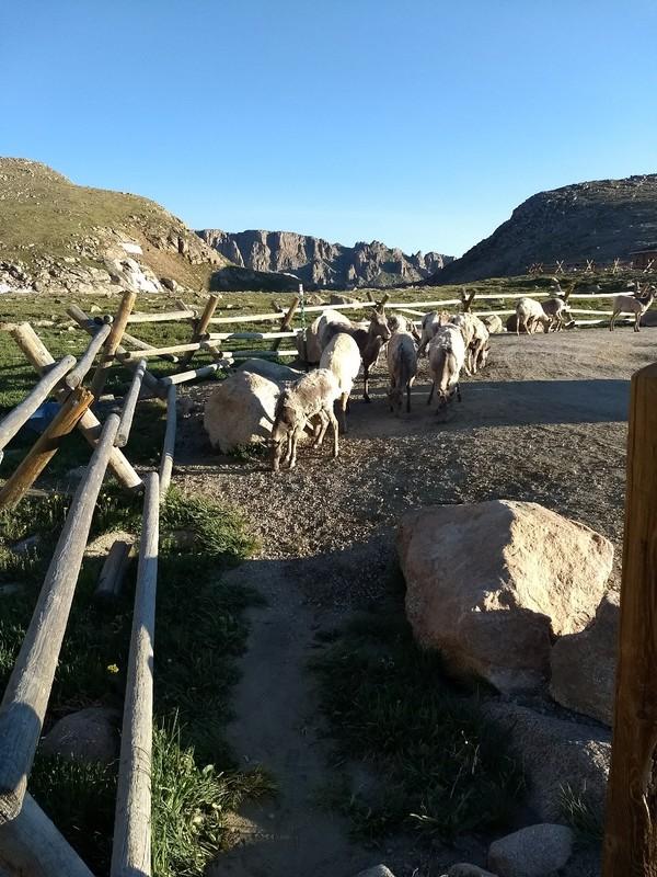 2018-07-08 - Mt Evans - 17 - goats
