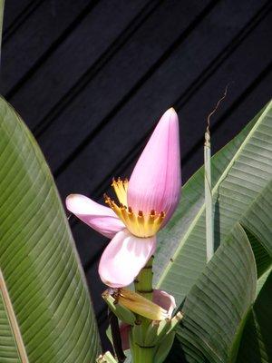 Banana_flower.jpg
