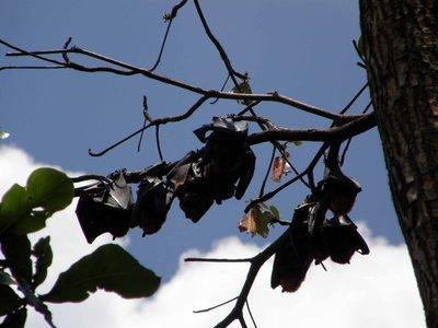 Bats_in_a_tree.jpg