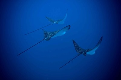 Three eagle rays