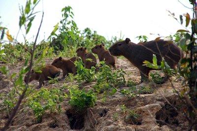 Capybara_babies.jpg