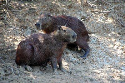 Capybaras.jpg