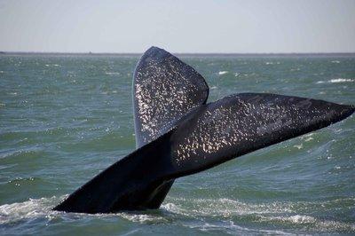 Close_whale_tail.jpg