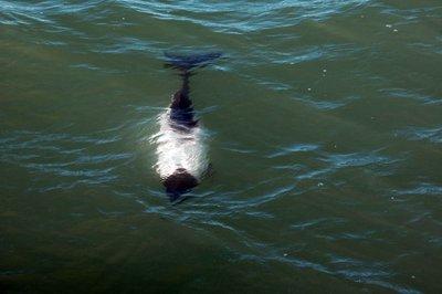Dolphin_under_water.jpg