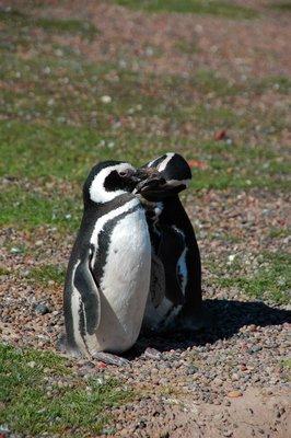 Penguin_grooming.jpg