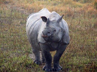 Rhino_bull.jpg