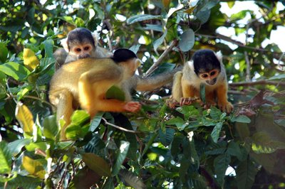 Squirrel_monkeys.jpg