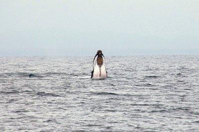 Whale_breaching.jpg