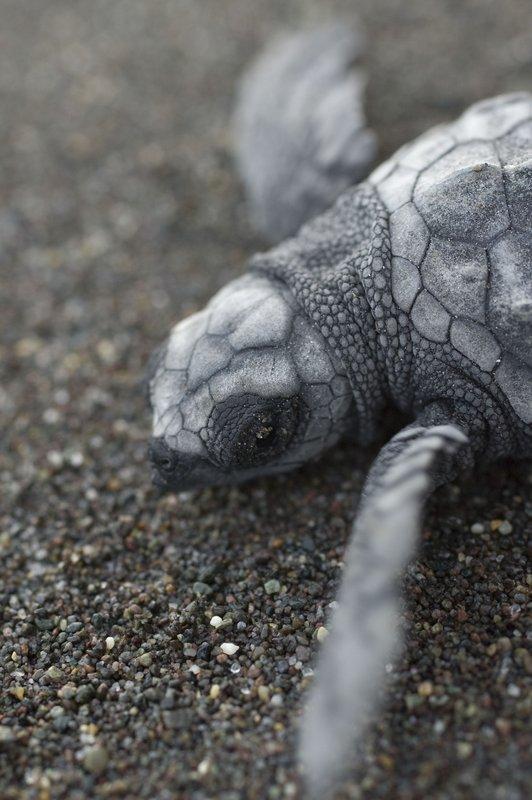 Baby turtle closeup