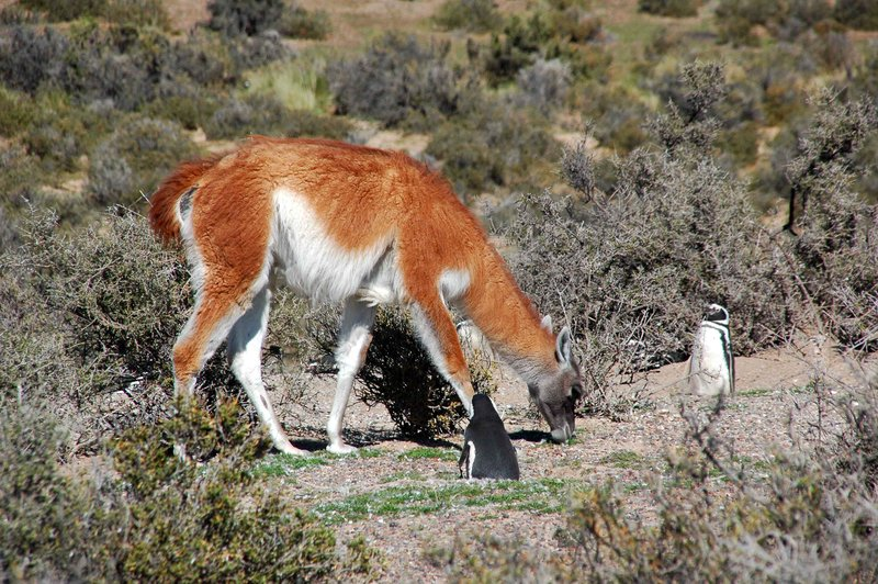 Guanaco with penguins