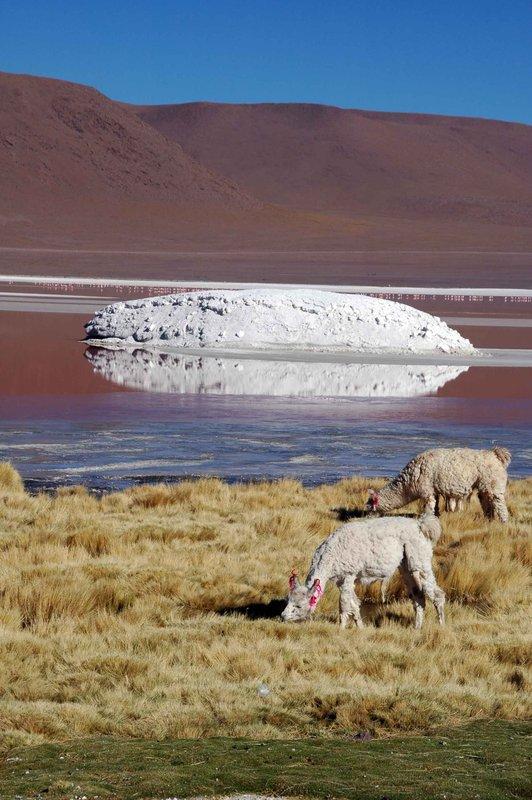 Llamas at Laguna Colorada