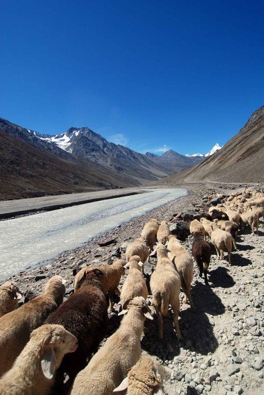 Shepherding in Spiti valley