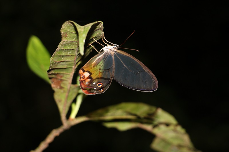 Transparent butterfly Cuyabeno