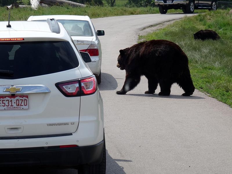 Bear has right-of-way
