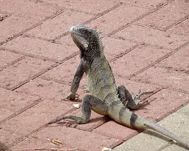 Only saw 1 iguana