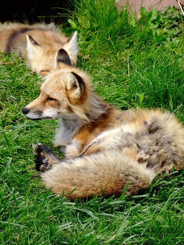 Two Red Fox
