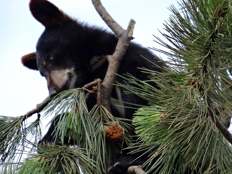 Cubs are great tree climbers