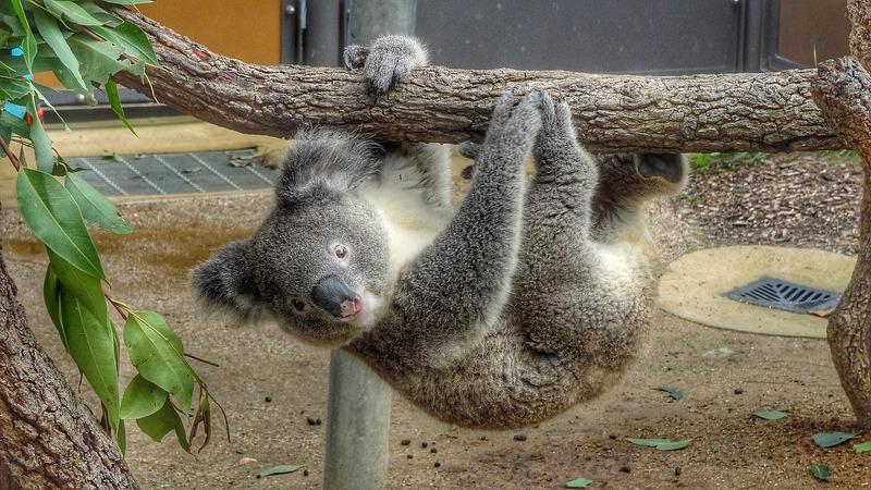 Active Koala