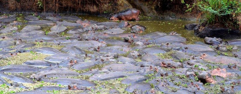 So many Hippos