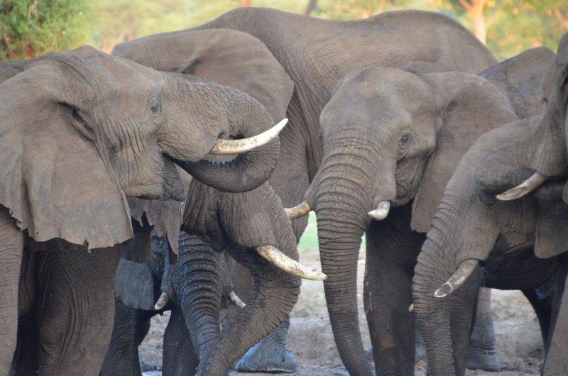 image091 elefants