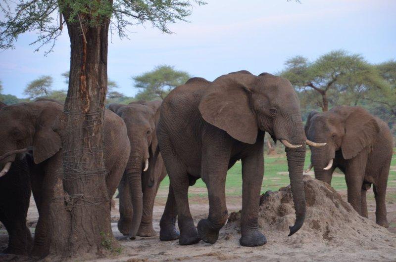 image097 elefants
