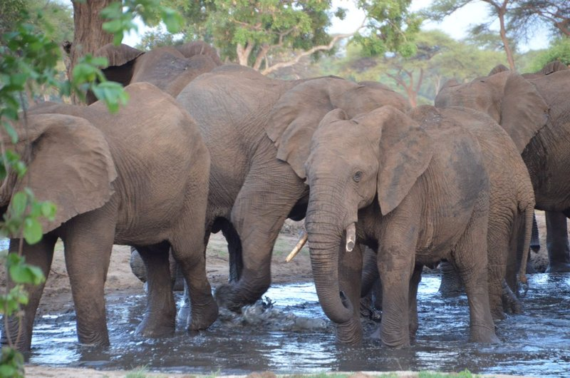 image099 elefants