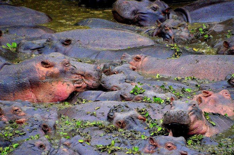 Hippos at River