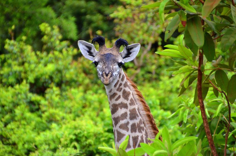 noisy young giraffe