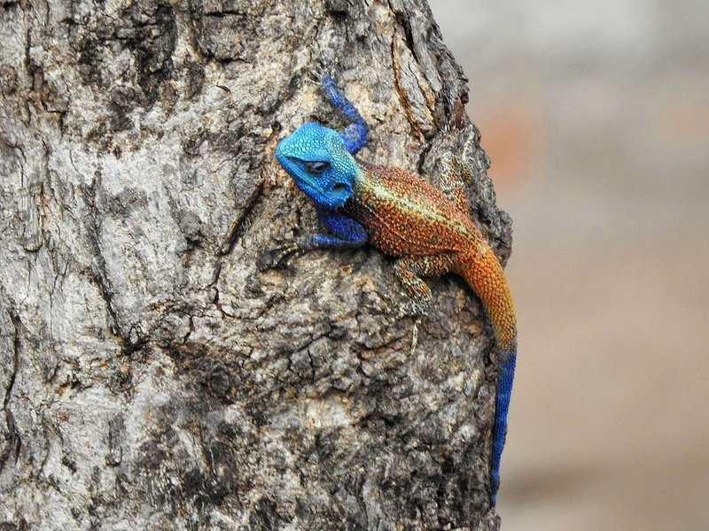 colorful lizzard Eidechse