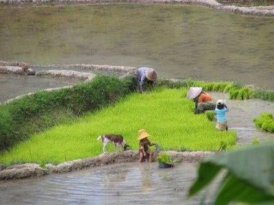 rice_fields_work.jpg
