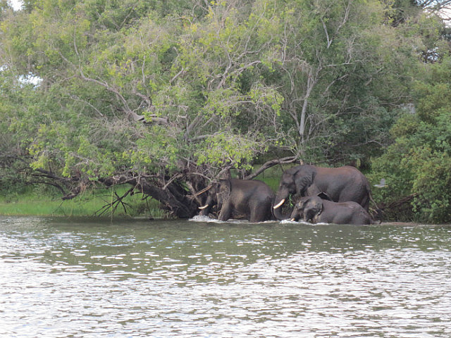 Elephants Swimming Across the River