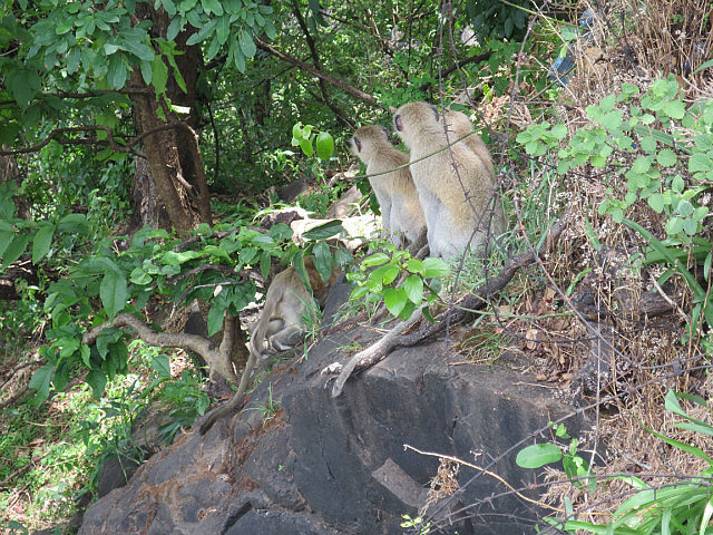 Baboons Everywhere in Zambia ...